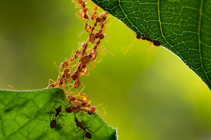 Ants working together